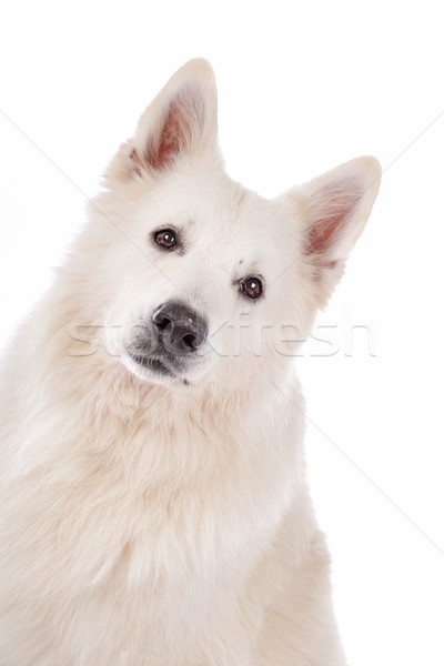 Foto stock: Branco · pastor · cão · retrato · animal · de · estimação · fundo · branco