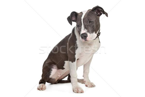 Stock fotó: Amerikai · kutya · háttér · állat · emlős · stúdiófelvétel