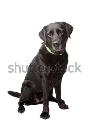Mixed breed dog Stock photo © eriklam