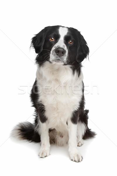 Vegyes fajta kutya juhászkutya kereszt fehér háttér Stock fotó © eriklam