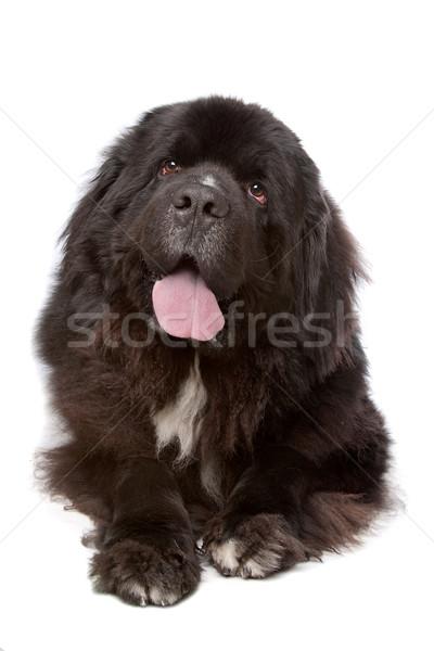 Nowa fundlandia psa biały ponosi zwierząt cięcia Zdjęcia stock © eriklam