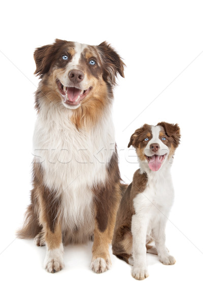 Australian Shepherd Adult and puppy Stock photo © eriklam