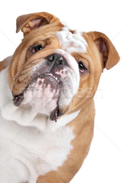 English bulldog bianco animale studio nessuno Foto d'archivio © eriklam