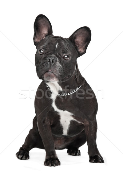 Photo stock: Français · bulldog · séance · blanche · studio · animal