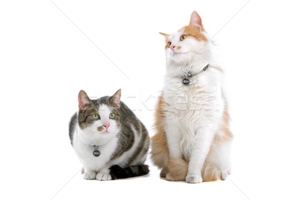 ストックフォト: 2 · 英国の · 短い · 猫 · かわいい · 孤立した
