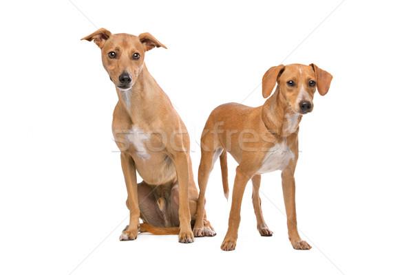 2 ブラウン 白 犬 座って 立って ストックフォト © eriklam