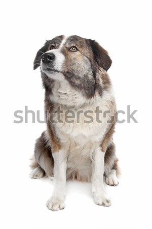 Atlas montagna cane bianco Foto d'archivio © eriklam