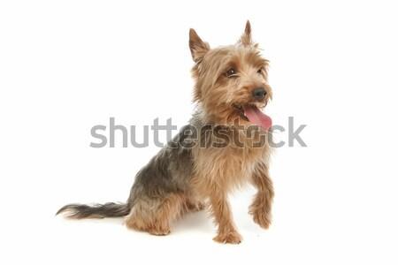 Yorkshire terrier Stock photo © eriklam