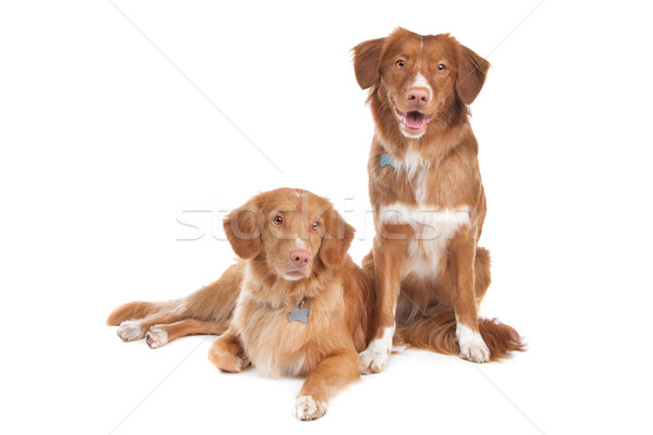 two Nova Scotia Duck Tolling Retriever dogs Stock photo © eriklam