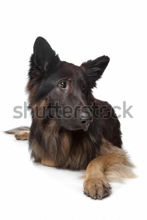 Old German Shepherd Dog Stock photo © eriklam