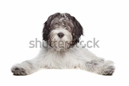 Hollanda çoban köpeği beyaz köpek hayvan stüdyo Stok fotoğraf © eriklam