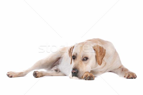 ラブラドル·レトリーバー犬 白 犬 ラブラドル 白地 国内の ストックフォト © eriklam