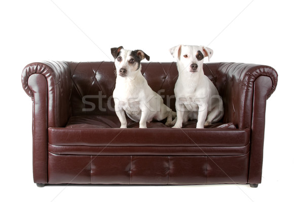 two jack russel terrier dogs Stock photo © eriklam