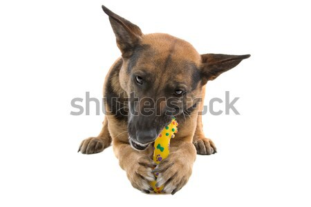 mixed breed dog (half shepherd) Stock photo © eriklam