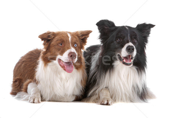 two border collie sheepdogs Stock photo © eriklam