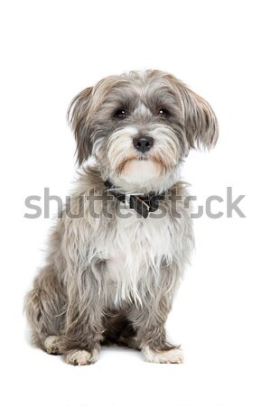 grey and white mixed breed dog Stock photo © eriklam