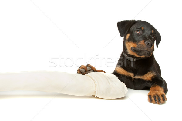 Rottweiler puppy with a huge white bone Stock photo © eriklam