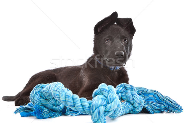 Black Shepherd puppy dog with a blue toy rope Stock photo © eriklam