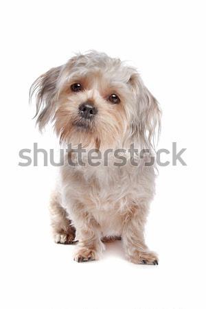 Stok fotoğraf: Uzun · saçlı · beyaz · köpek · arka · plan · hayvan
