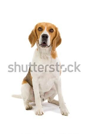 Bigle cão de caça branco animal estúdio animal de estimação Foto stock © eriklam