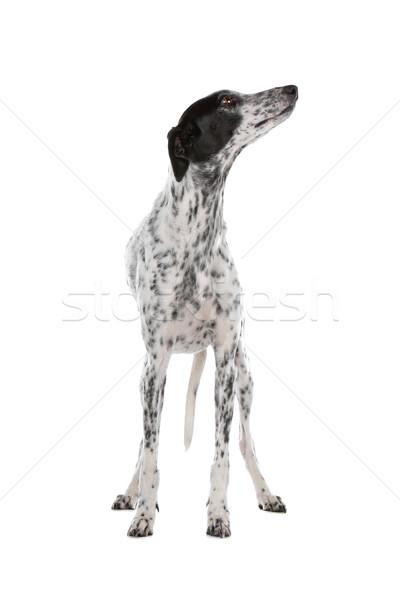 Branco galgo cão preto isolado Foto stock © eriklam