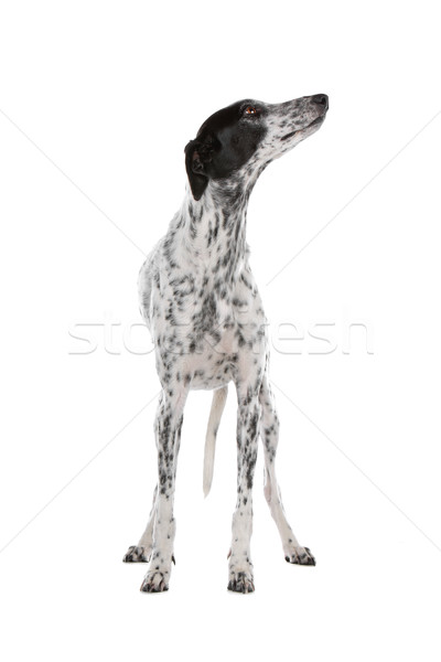 Blanco galgo perro negro aislado Foto stock © eriklam