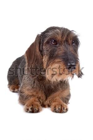 Drót tacskó kutya elöl izolált fehér Stock fotó © eriklam