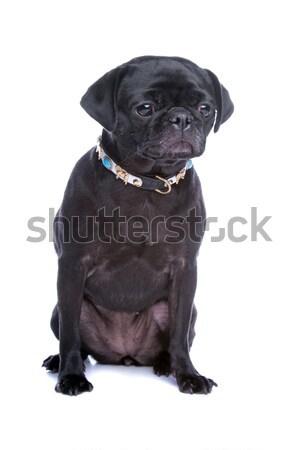mixed-breed dog Stock photo © eriklam