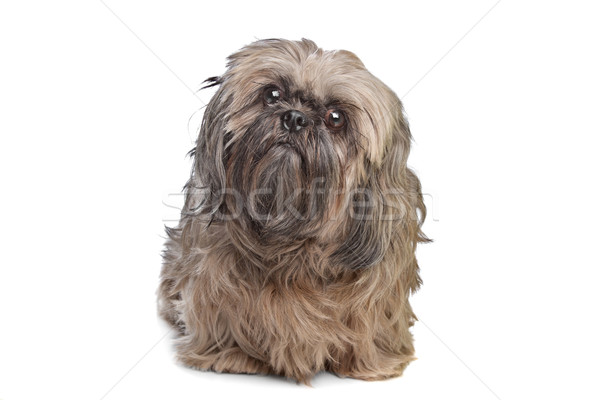 Brown Shih Tzu dog Stock photo © eriklam