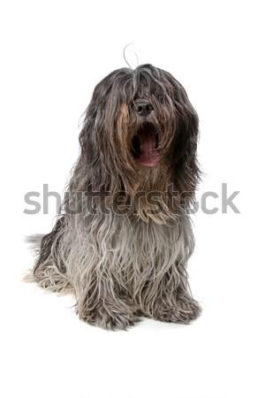 İngilizce köpek görmek yalıtılmış beyaz Stok fotoğraf © eriklam