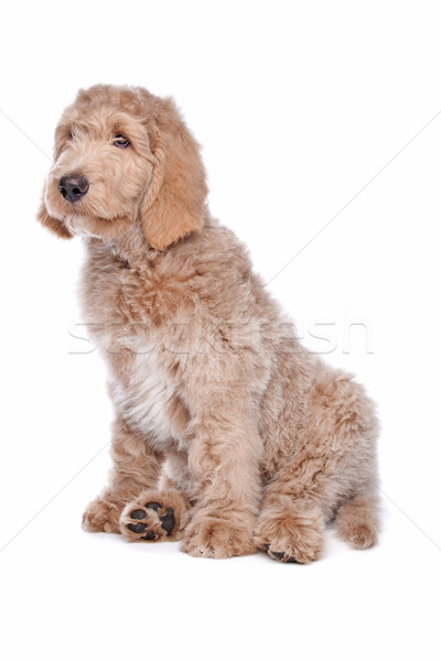 Labradoodle puppy Stock photo © eriklam
