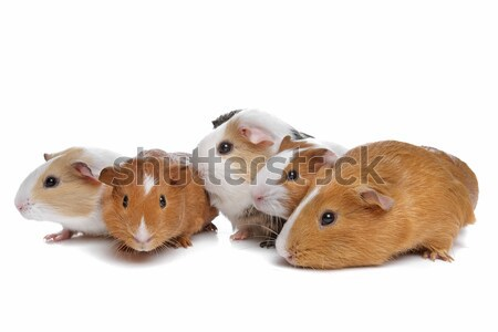 five guinea pigs Stock photo © eriklam