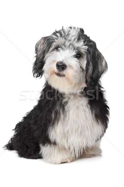 Havanese köpek arka plan beyaz beyaz arka plan memeli Stok fotoğraf © eriklam