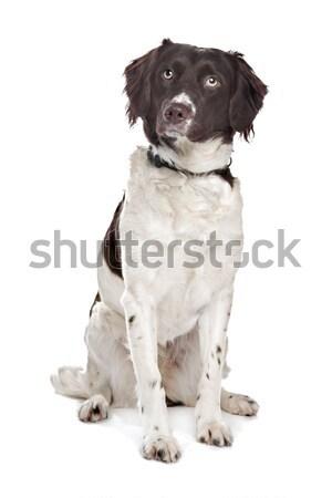mixed breed dog. Dutch Partridge Dog, Frisian Pointing Dog Stock photo © eriklam