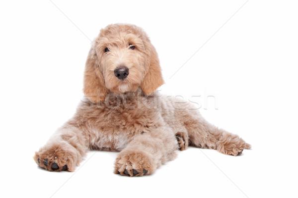 Labradoodle puppy Stock photo © eriklam