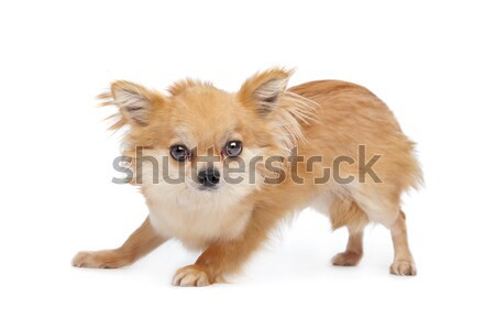 Brown long haired chihuahua Stock photo © eriklam
