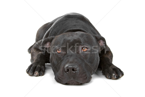English staffordshire bull terrier (staffordshire, staffy, staffie, stafford)  Stock photo © eriklam