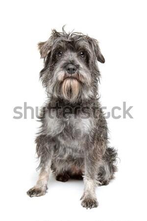 Mista razza cane isolato bianco Foto d'archivio © eriklam