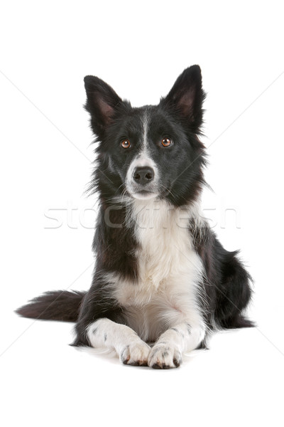 border collie sheepdog Stock photo © eriklam