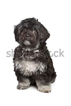 little black boomer dog Stock photo © eriklam
