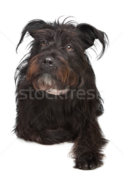 black mixed breed dog Stock photo © eriklam
