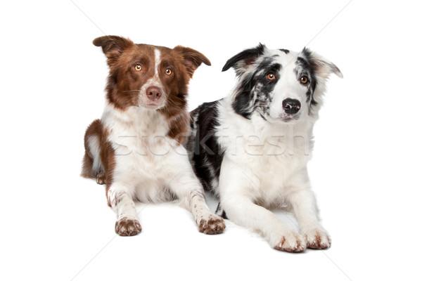 Twee border collie honden schapen witte hond Stockfoto © eriklam