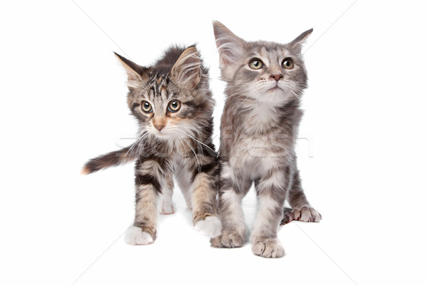Maine chatons blanche groupe animaux oreille Photo stock © eriklam