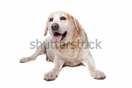 Labrador retriever fehér állat vág díszállat lövés Stock fotó © eriklam