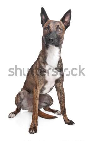 Stock fotó: Belga · juhászkutya · kutya · fehér · állat · barna · bent