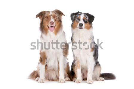 Two Australian Shepherd dogs Stock photo © eriklam