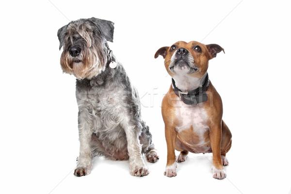 Schnauzer Hund weiß Studio säugetier Stock foto © eriklam