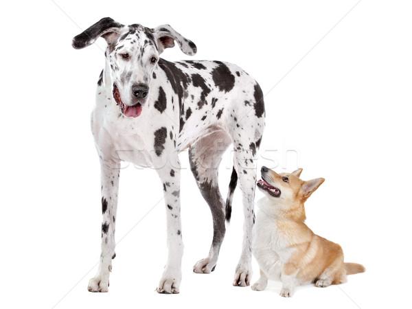 Harlequin Great Dane and aPembroke Welsh Corgi dog Stock photo © eriklam