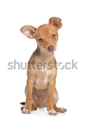 mixed breed chihuahua and miniature Pincher dog Stock photo © eriklam