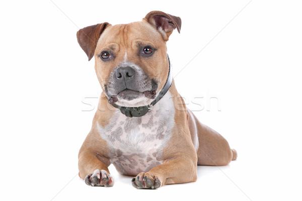 Stock fotó: Bika · terrier · fehér · kutya · díszállat · izolált